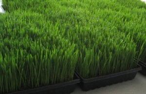 WHEAT GRASS- Organic